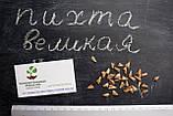 Пихта великая семена (50 шт) (Abies grandis) для выращивания саженцев + подарок, фото 2