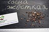 Сосна жёсткая семена (50 шт) (Pinus rigida) для выращивания саженцев + подарок, фото 2