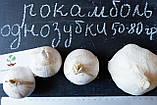 Рокамболь испанский однозубки 20-30 грамм(10 штук) (слоновий чеснок семена) лук-чеснок, насіння часнику, фото 6