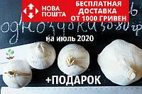 Рокамболь испанский однозубки 50-80 грамм(10 штук) (слоновий чеснок семена) лук-чеснок, насіння часнику, фото 1