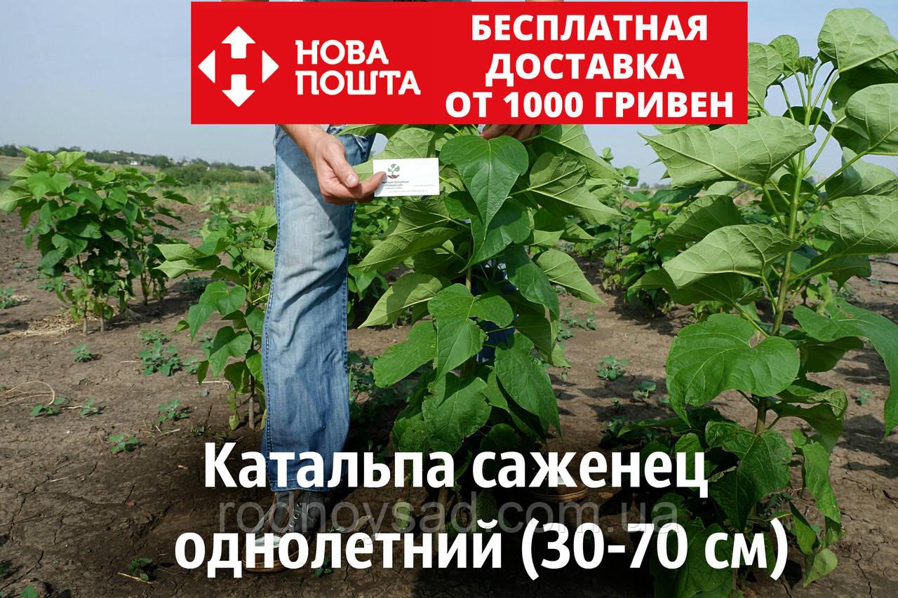 Катальпа бигнониевидная саженцы (саджанці) декоративное, красивоцветущее растение Catalpa