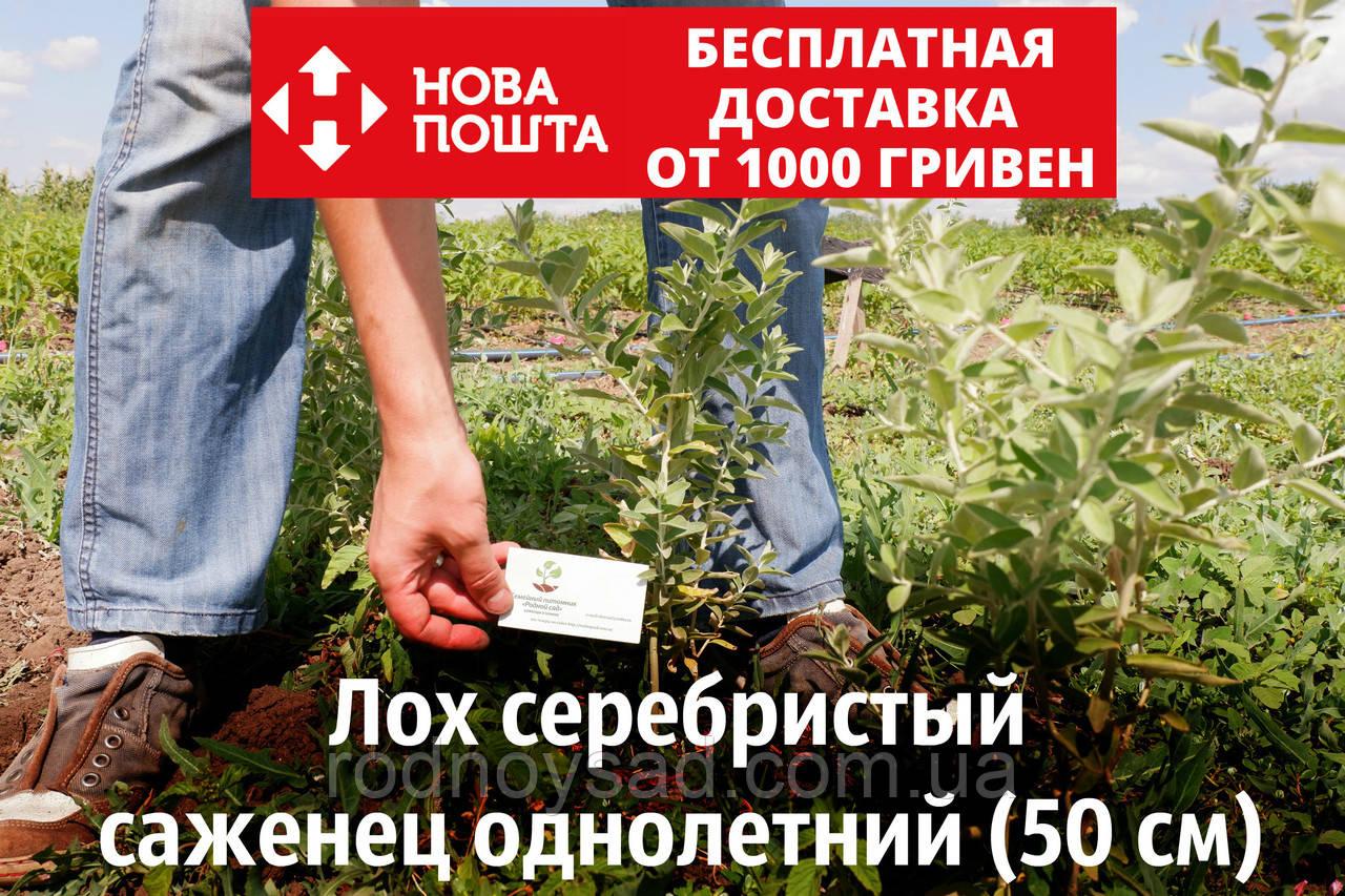 Лох серебристый саженцы (дикая маслина) саджанці Elaeagnus commutata(на осень 2020)