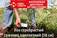 Лох серебристый саженцы (дикая маслина) саджанці Elaeagnus commutata(на осень 2020), фото 1