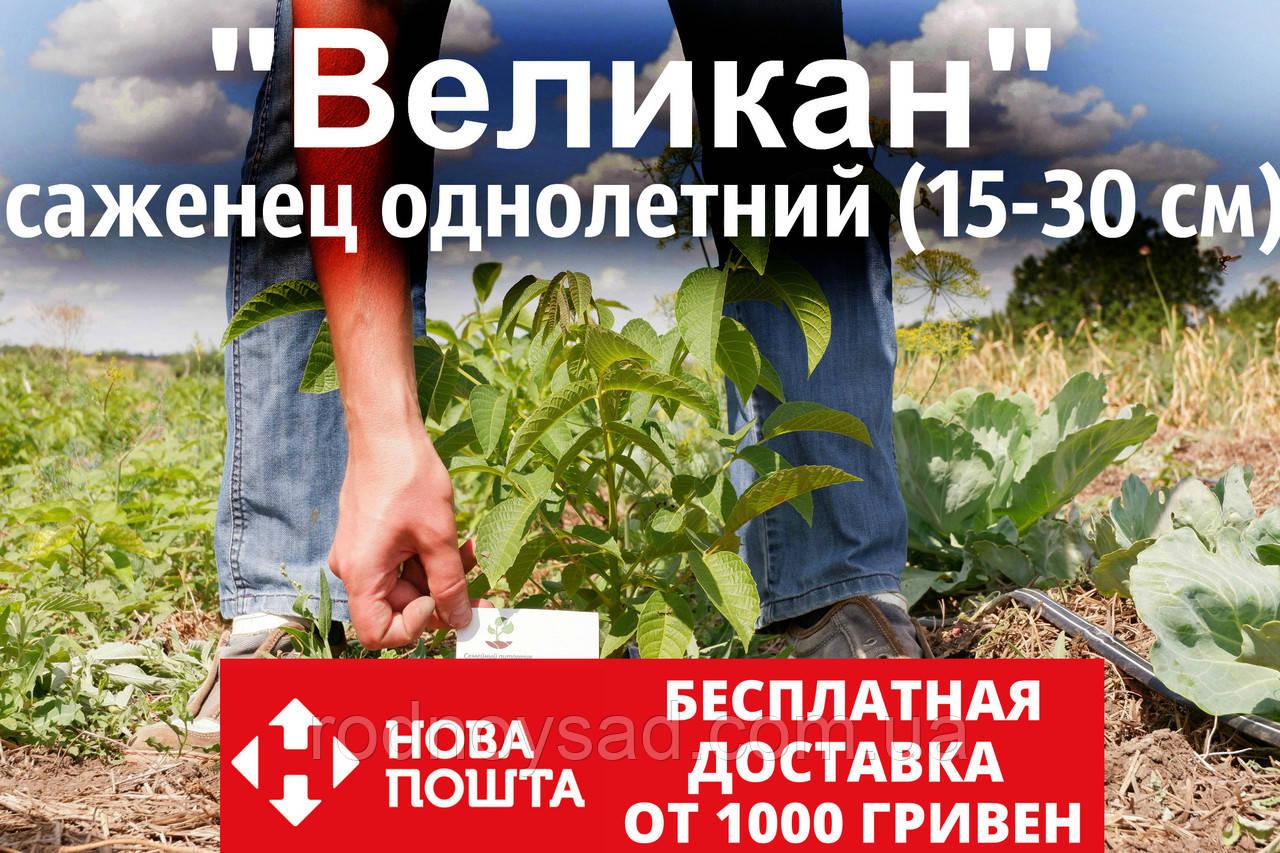 Саженцы грецкий орех сорт «Великан» (саджанці волоський горіх) Велетень(на осень 2020)