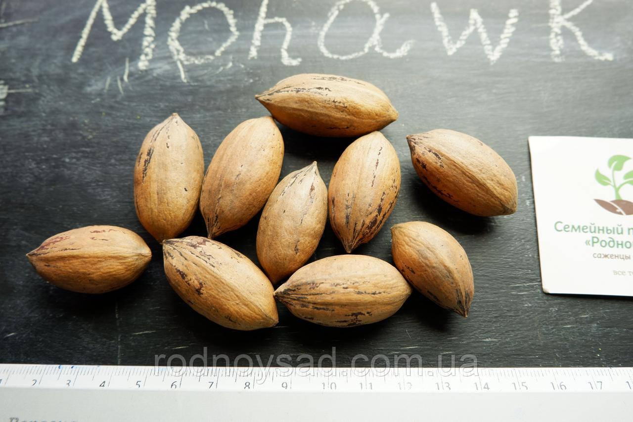 """Пекан орех саженец сорт """"Mohawk"""" (ранний) кария саджанці Carya illinoinensis (однолетний) - фото 3"""