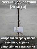 "Виноград""Каберне-совиньон""саженцы, фото 2"
