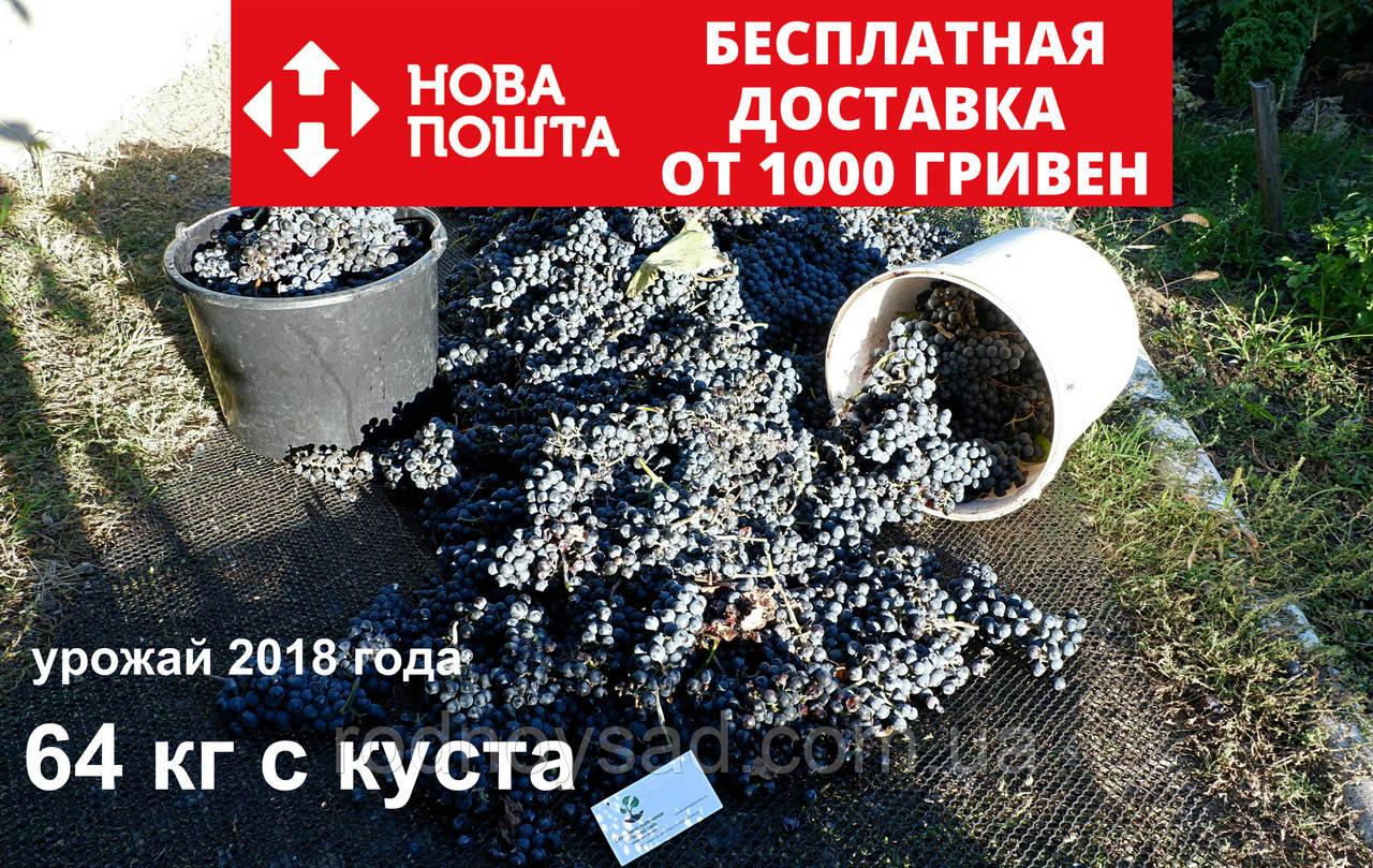 """Виноград""""Каберне-совиньон""""саженцы технический винный сорт для производства хорошего вина(кабернэ)на осень 2020"""
