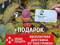 Хурма виргинская американская семена (20 штук) Diospyros virginiana насіння для саджанців/саженцев