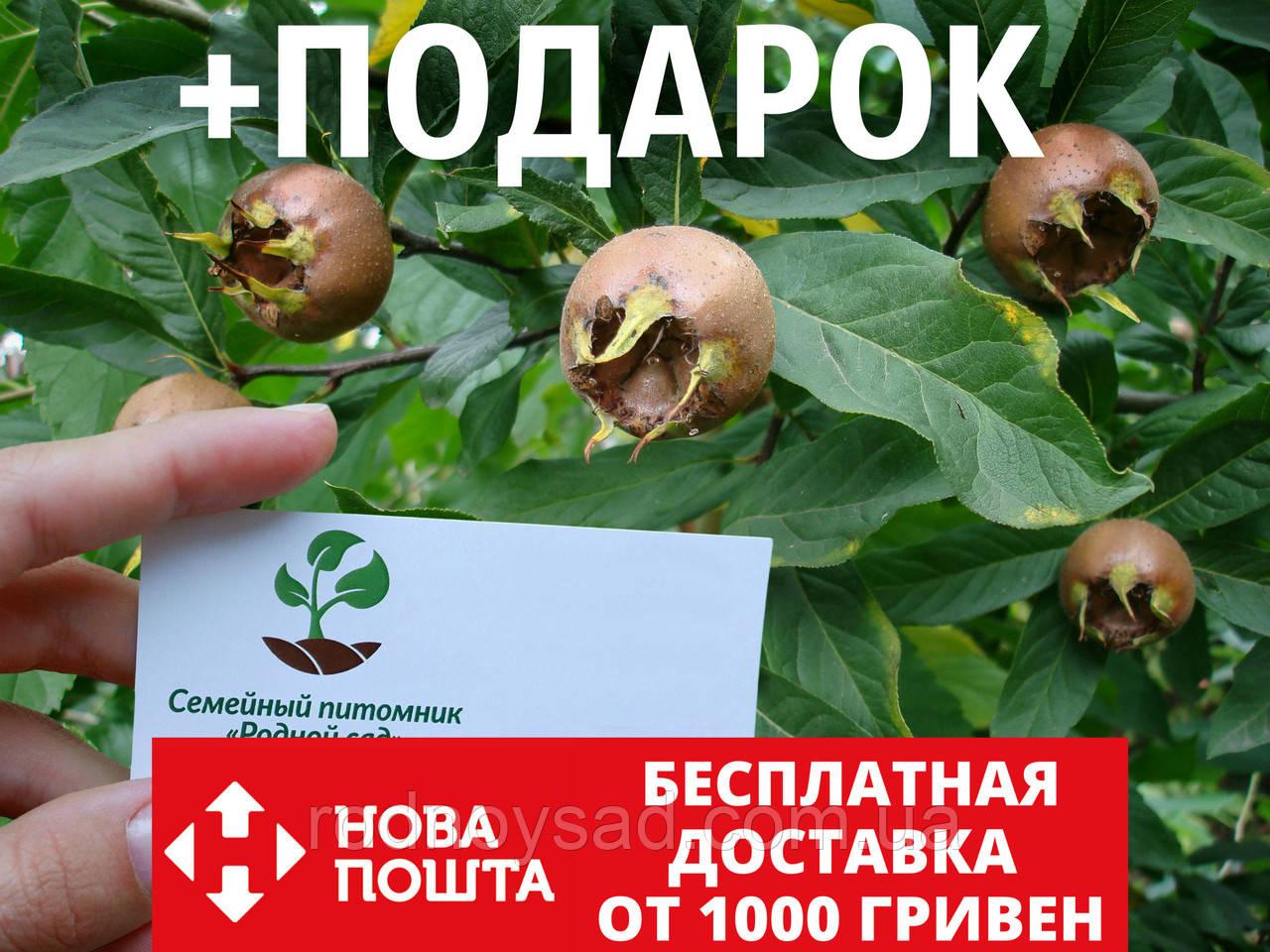 Мушмула германская семена (10 шт) для саженцев, насіння на саджанці + инструкция + подарок