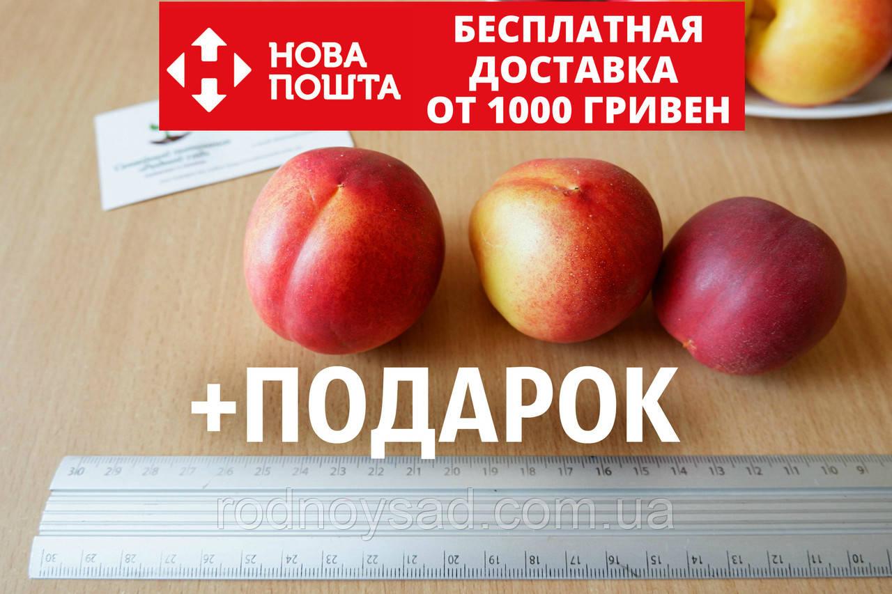 Нектарин семена (10 штук) насіння, косточка, семечка для выращивания саженцев + инструкция