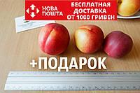 Нектарин семена (10 штук) насіння, косточка, семечка для выращивания саженцев + инструкция, фото 1
