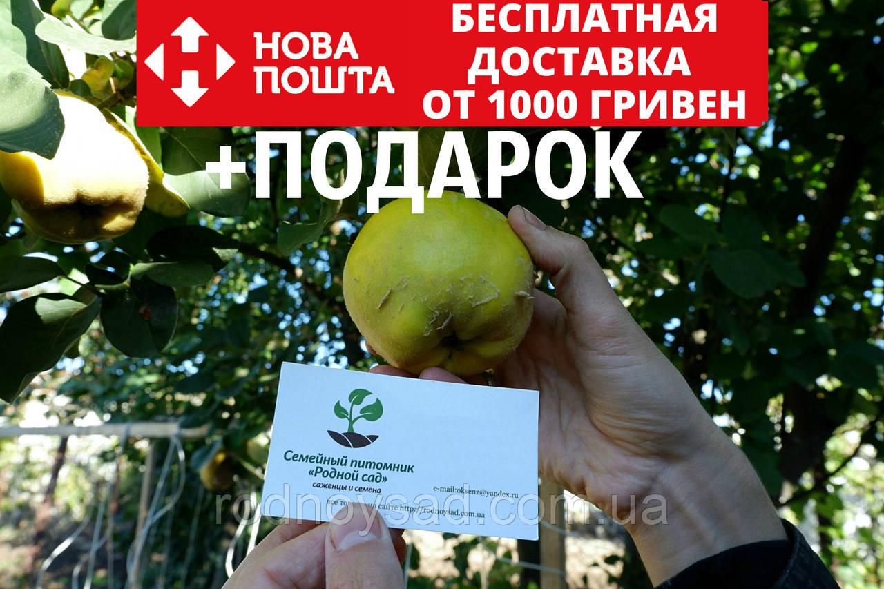 Айва семена (20 шт) для выращивания саженцев семечка насіння на саджанці + инструкция + подарок