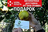 Айва семена (20 шт) для выращивания саженцев семечка насіння на саджанці + инструкция + подарок, фото 1