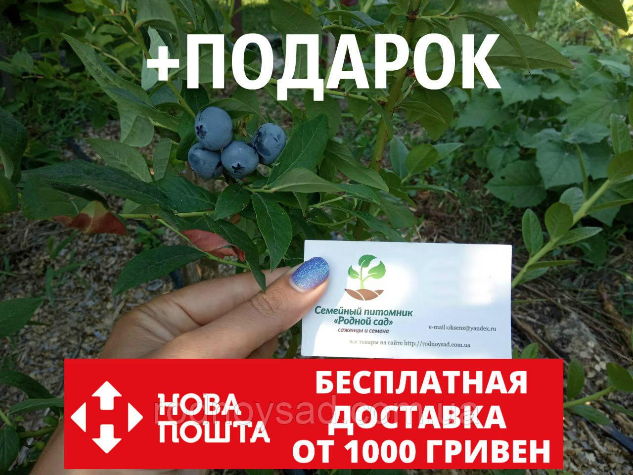 Голубика семена (20 штук) Vaccínium uliginósum насіння лохини, косточка, семечка для саженцев