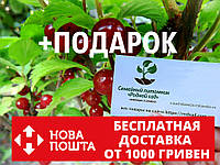 Войлочная вишня семена 10 шт, косточки для саженцев Prunus tomentosa насіння на саджанці + инструкции, фото 1
