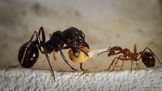 """Средняя муравьиная колония """"Муравей Жнец"""" Messor Structor (Мессор Страктор): 10 муравьев"""