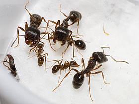 """Большая муравьиная колония """"Муравей Жнец"""" Messor Structor (Мессор Страктор): 20+ муравьев"""