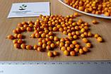 Облепиха (сентябрьская) семена (20 штук) для саженцев обліпиха насіння на саджанці Hippóphaë rhamnóides, фото 2