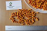 Облепиха (сентябрьская) семена (20 штук) для саженцев обліпиха насіння на саджанці Hippóphaë rhamnóides, фото 4