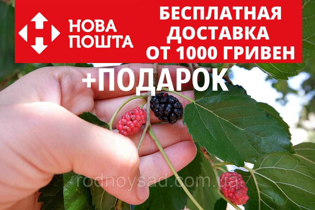 Шелковица чёрная семена (20 штук) для саженцев тутовое дерево (шовковиця насіння для саджанців)