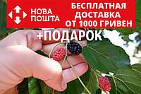 Шелковица чёрная семена (20 штук) для саженцев тутовое дерево (шовковиця насіння для саджанців), фото 1