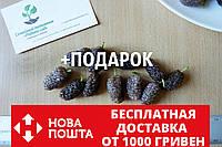 Шелковица розовая семена (20 штук) для саженцев тутовое дерево (шовковиця насіння для саджанців), фото 1