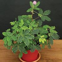 Мимоза стыдливая (Mimosa pudica) - сенсорное, движущиеся, многолетнее, декоративное, комнатное, растение