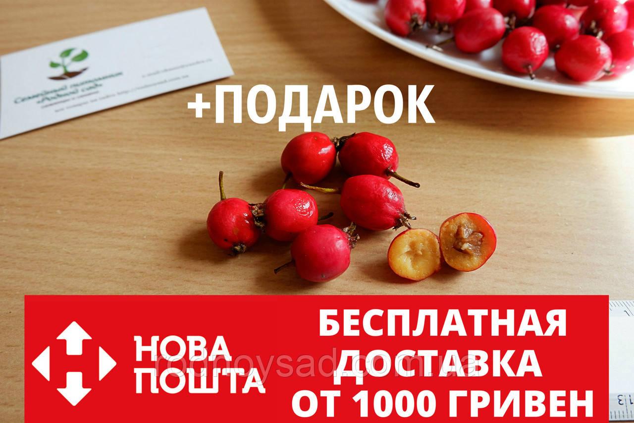 Боярышник семена (20 шт) (насіння глоду для саджанців)семечка, косточка для выращивания саженцев