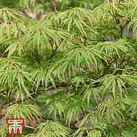 Клен віяловий японський Емеральд Лейс / Acer palmatum Emerald Lace, С2, 50см.