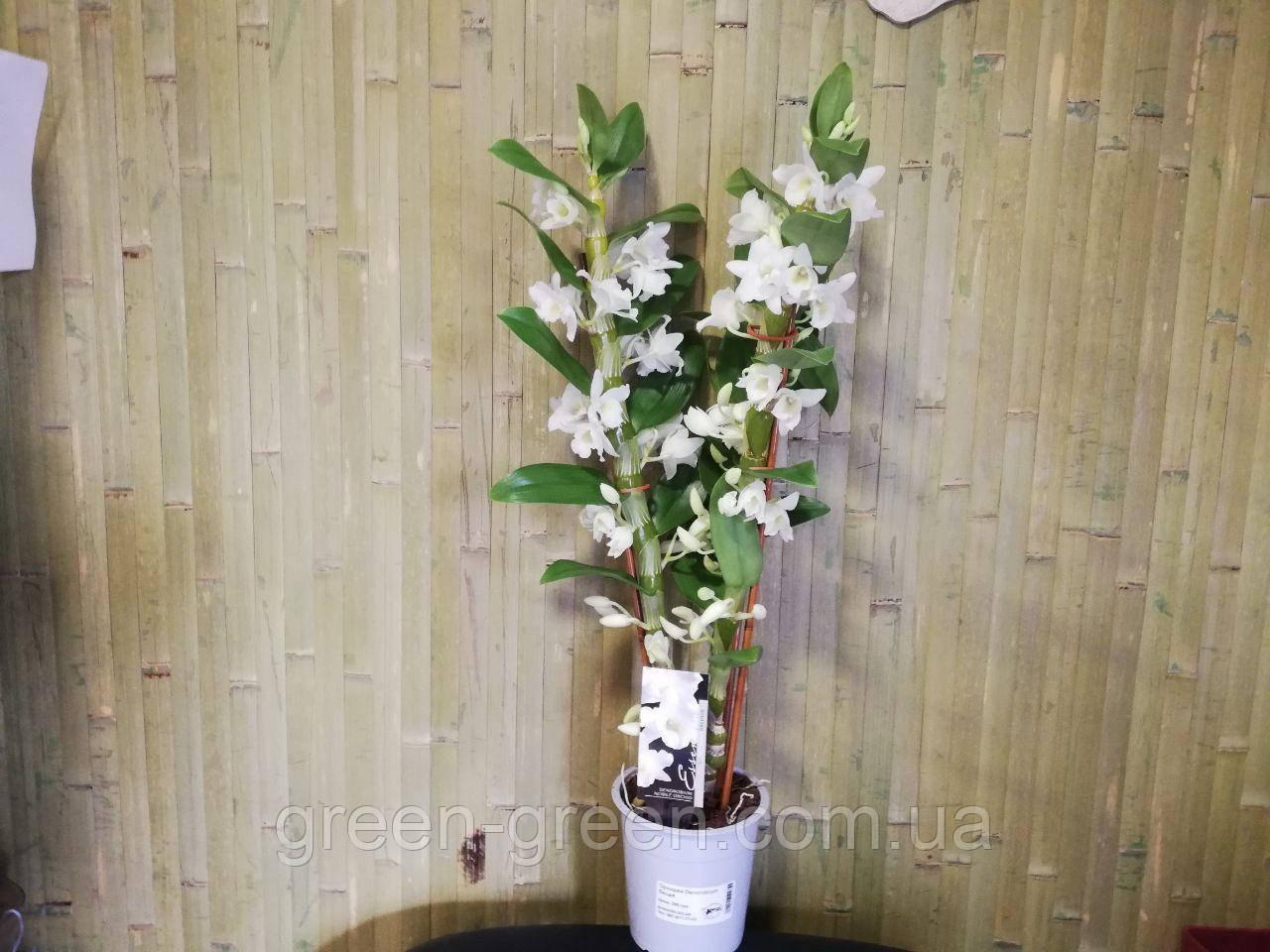 Орхидея Dendrobium белый (не цветущая)