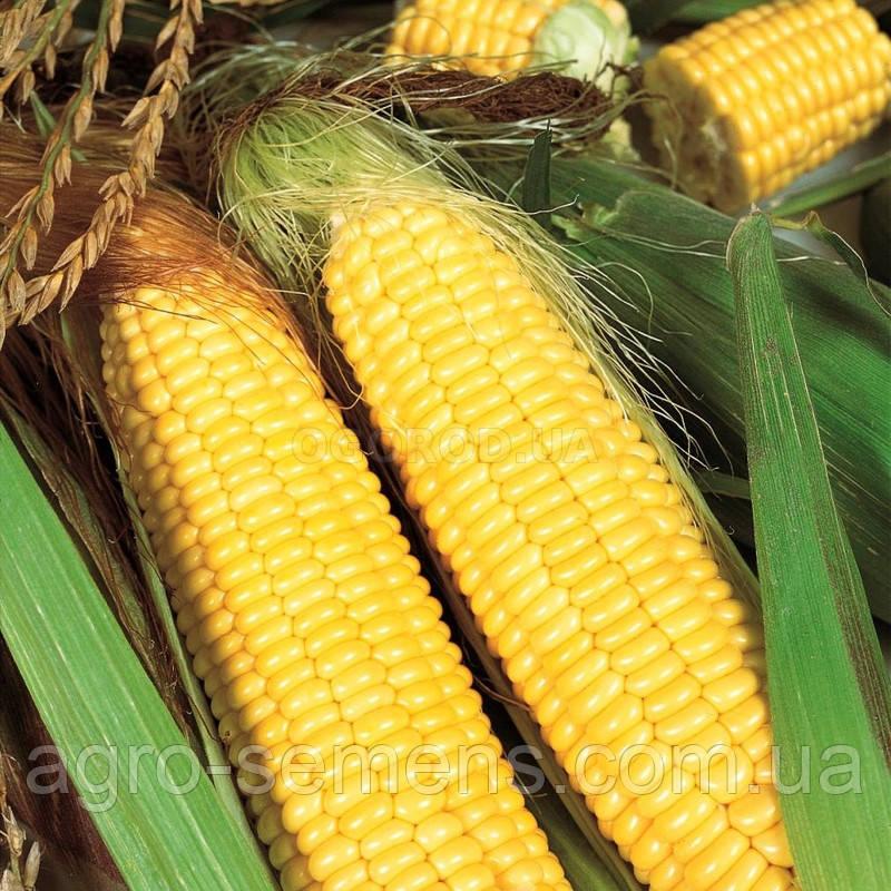 Семена кукурузы ДН Аджамка ФАО 320