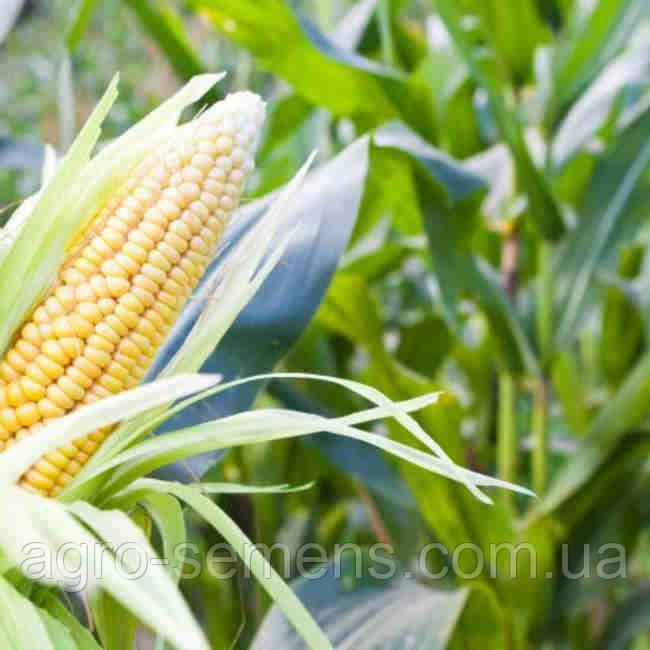 Семена кукурузы ЛЕЛЕКА ФАО 260