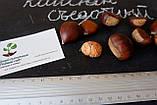 Семена каштан съедобный (3-8 грамм) 10 штук Castánea satíva посевной, орехи для саженцев + инструкции, фото 2