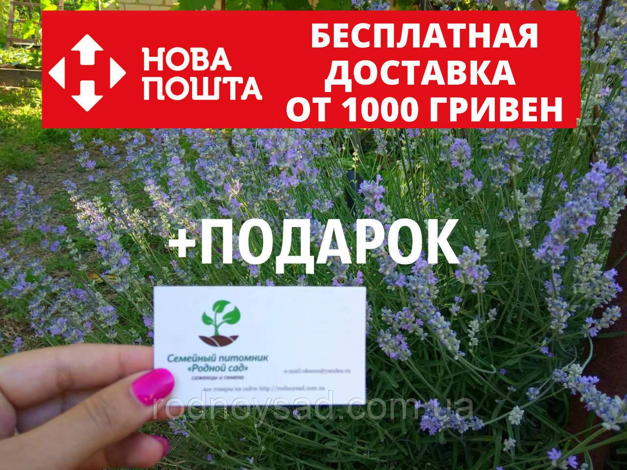 Лаванда настоящая семена (20 шт) леванда, лавенда, цветная трава насіння  + инструкция + подарок