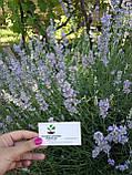 Лаванда настоящая семена (20 шт) леванда, лавенда, цветная трава + инструкция + подарок, фото 4