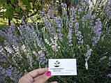 Лаванда настоящая семена (20 шт) леванда, лавенда, цветная трава + инструкция + подарок, фото 6