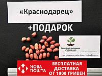 """Арахис сорт """"Краснодарец""""  семена (20 шт) земляной орех семена на посадку насіння арахіс земляний горіх, фото 1"""