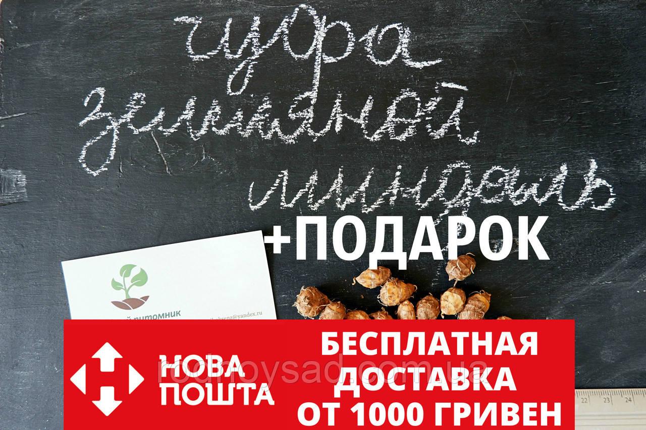 Чуфа семена (земляной орех миндаль, сыть, тигровый орех, зимовник) (100шт)  горіх мигдаль насіння + инструкция