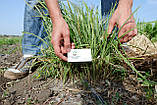 Чуфа семена (100шт) земляной орех миндаль, сыть, тигровый орех, зимовник + инструкция + подарок, фото 4