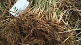 Чуфа семена (100шт) земляной орех миндаль, сыть, тигровый орех, зимовник + инструкция + подарок, фото 5