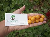 Физалис перуанский семена 50 шт (перуанская вишня) фізаліс насіння + инструкции, фото 5