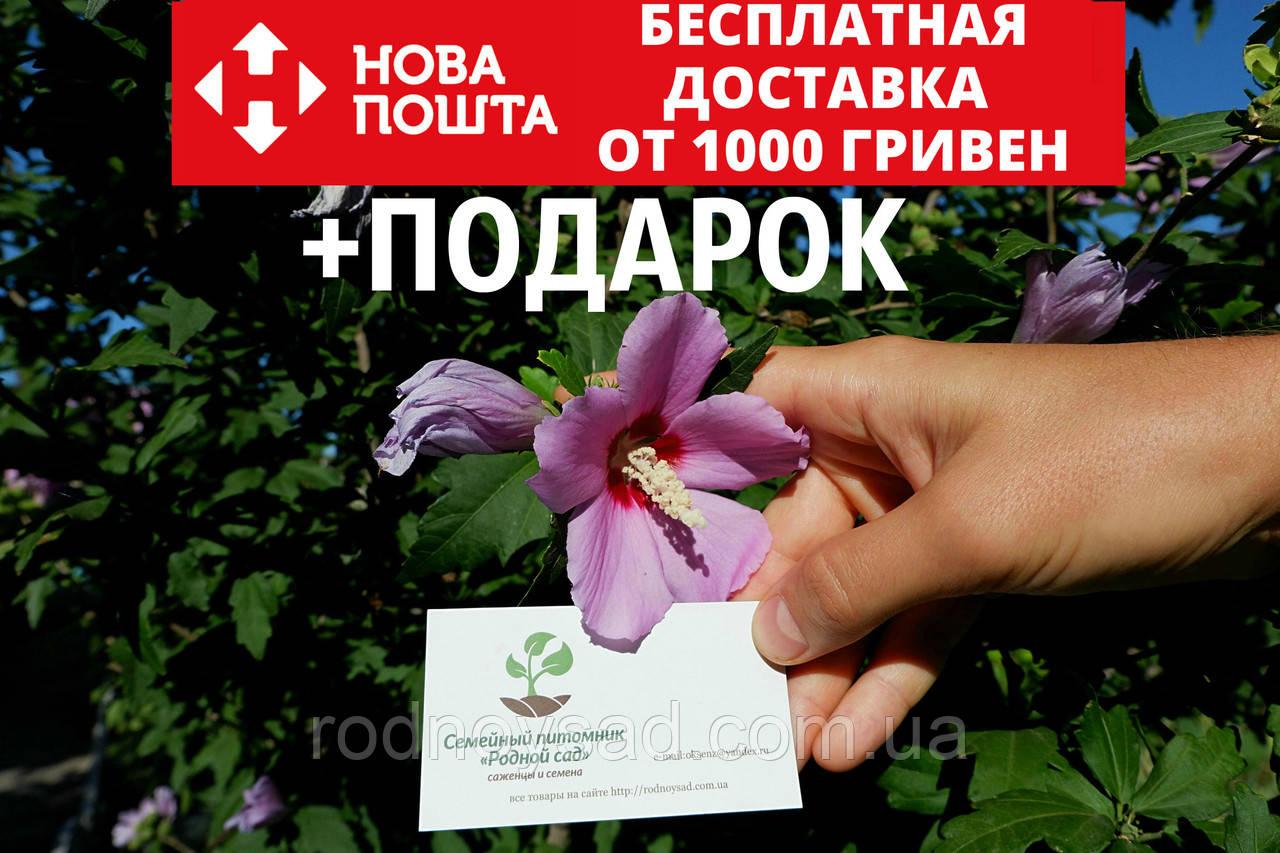 Гибискус древовидный семена (20 штук) для саженцев, Hibíscus syríacus садовый сиреневый гібіскус насіння
