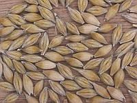 Семена озимого ячменя Достойный (1 репродукция)
