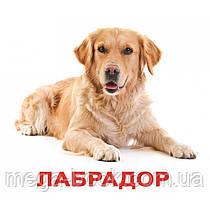 Породи собак з фактами. Картки Домана. Вундеркінд з пелюшок