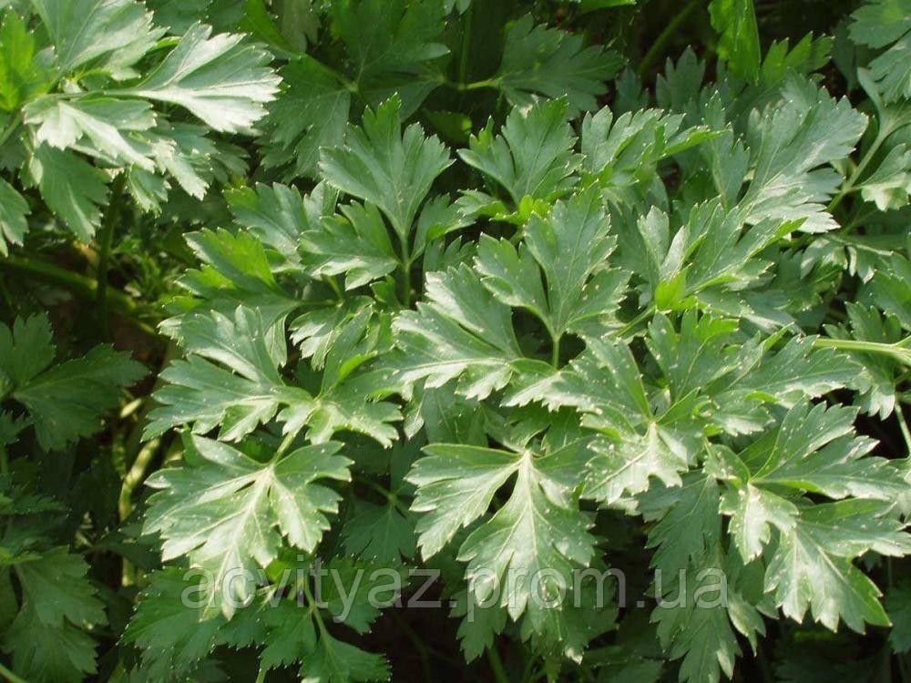 Семена петрушки Риалто, 50 грамм