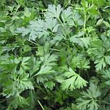Семена петрушки Риалто, 500 грамм, фото 2