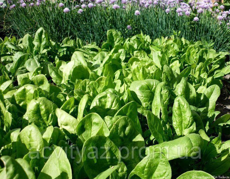 Семена шпината Боа, 25 000 семян