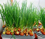 """Домашняя гидропонная грядка """"Луковое Счастье"""" - выращивание лука дома, фото 4"""