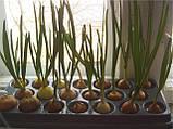 """Домашняя гидропонная грядка """"Луковое Счастье"""" - выращивание лука дома, фото 5"""