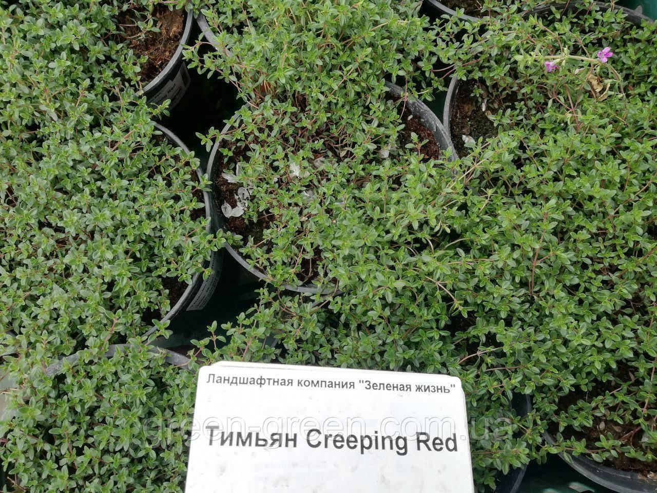Тимьян Creeping Red, саженец